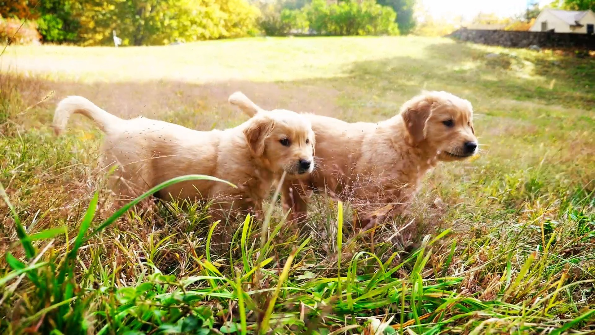The Cutest Puppies - The Cutest Golden Retriever Puppies