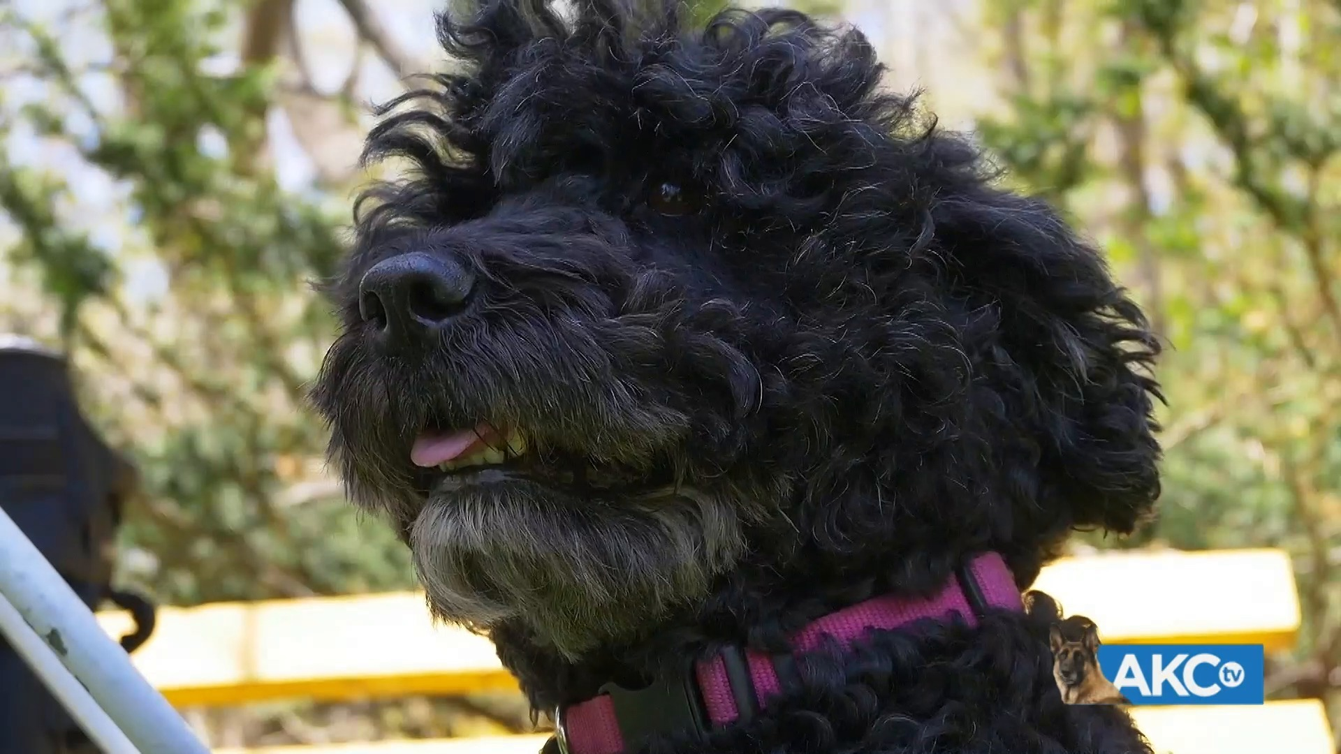 AKC DogCenter: Live from 101 Park - Hypoallergenic Dog Breeds | AKC.TV